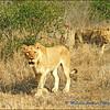Lions Advancing