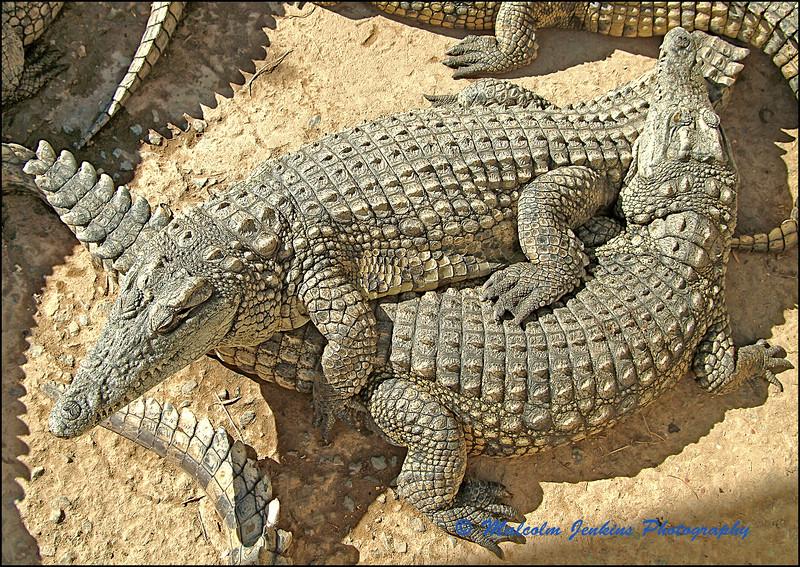 Friendly Crocs (?)