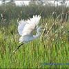 Egyptian Crane