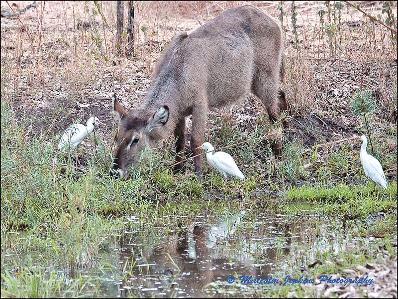 Female Waterbuck Drinking