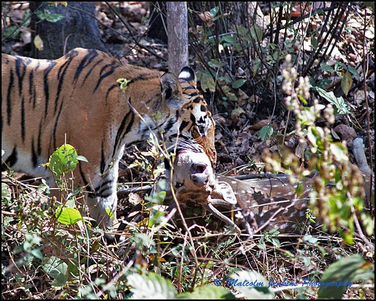 Tiger Kill