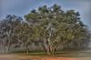 Australian trees