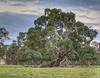 Aussie Gum Tree