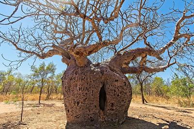 The Boab Prison Tree