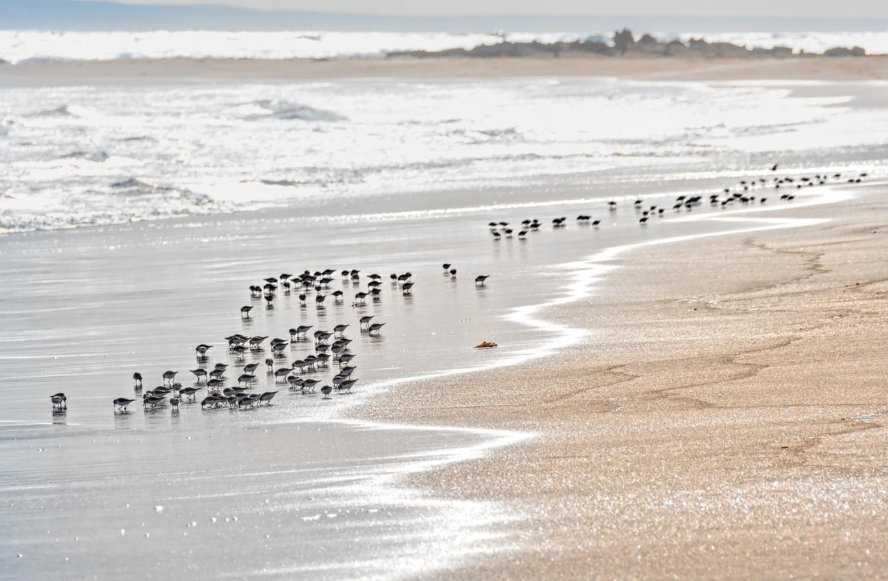 Common Sandpiper