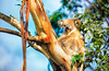 Koala - an Australian icon