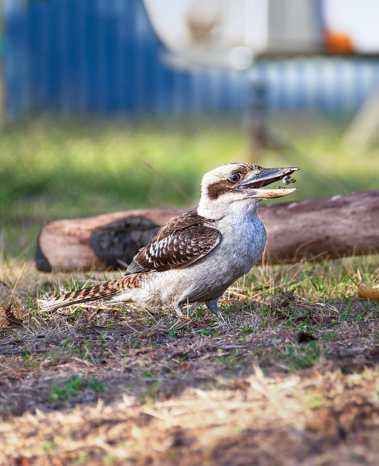 Kookaburra Snack