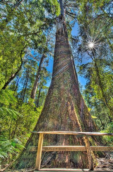 Otway Fly Tree