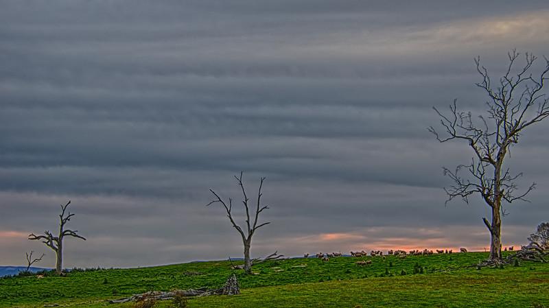 Sheep feeding in paddock