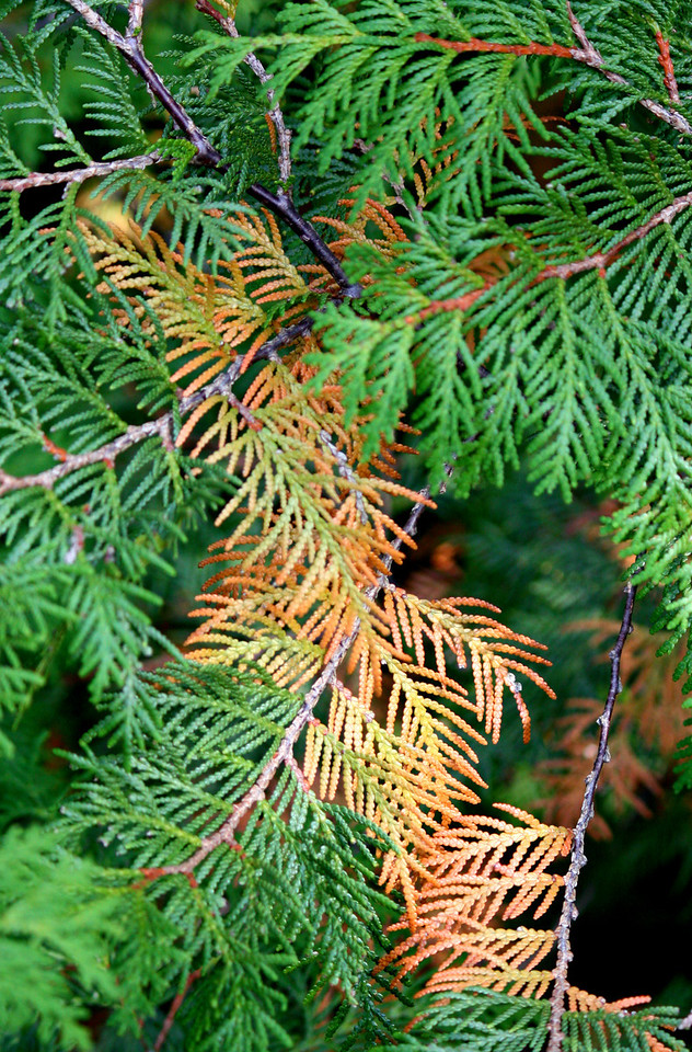 Fall Cedar