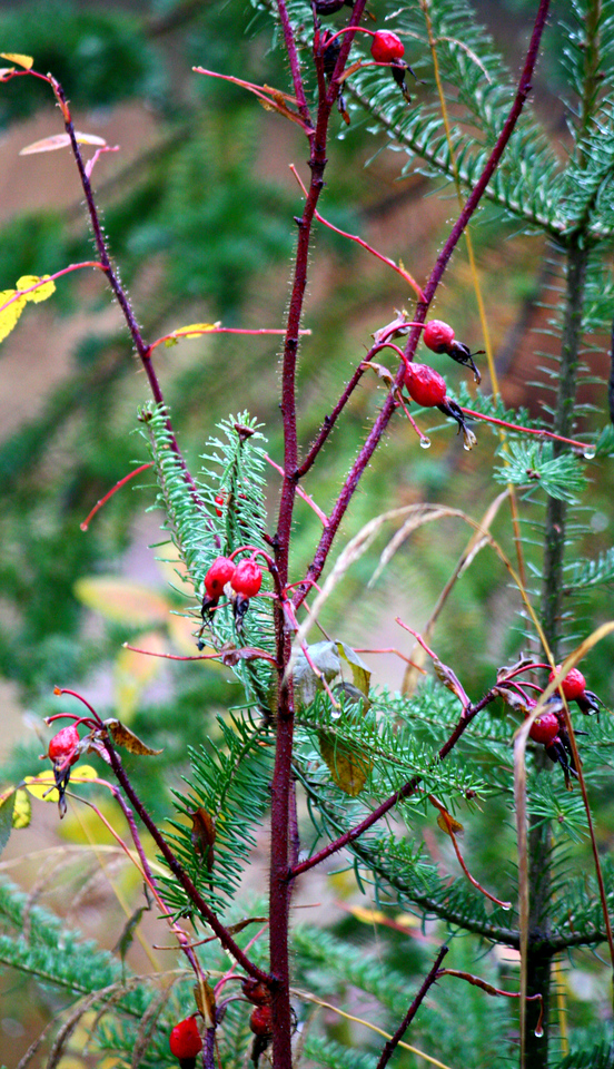 Cheerful Rosehips