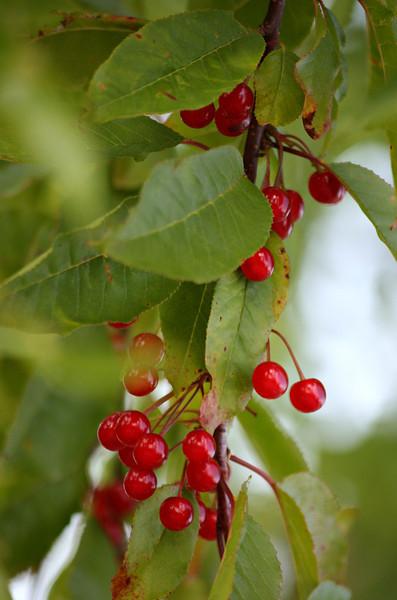 Wild Pin Cherries