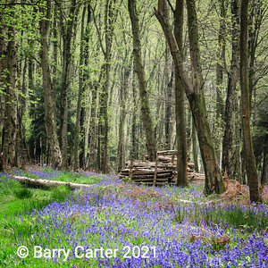 Bluebell Woodland in Nidderdale