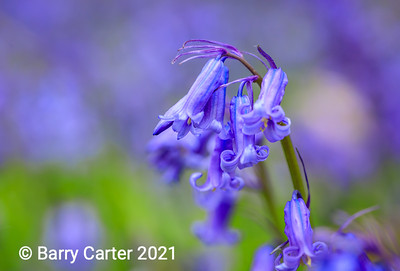 Bluebell close up in Landscape