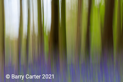 Trees and Bluebells