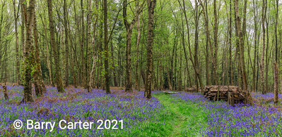 New Leaf in the Bluebell Wood