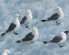 Black Legged Kittiwakes;  on Iceberg, Zodiac Cruising, Burgerbukta, Hornsund