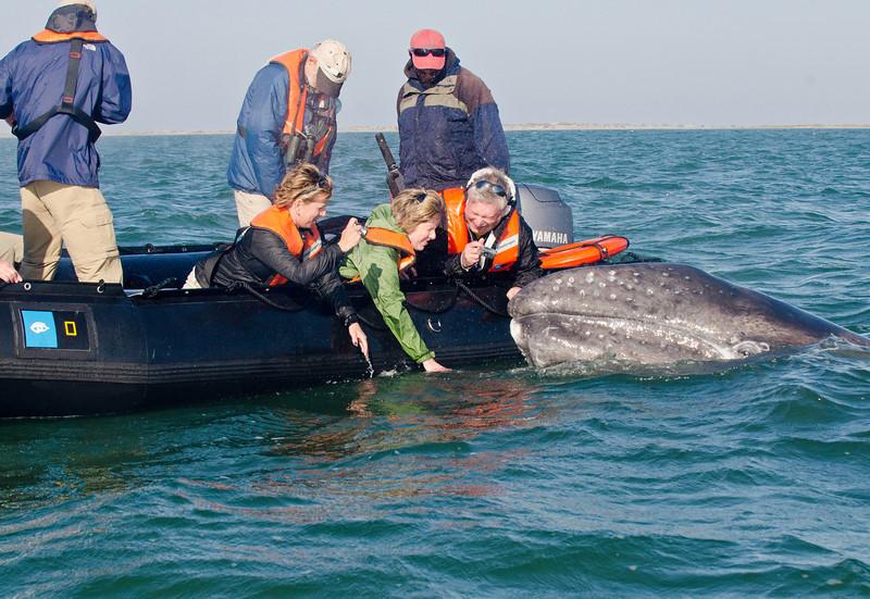 Gray Whale: Eschrichtius robustus, Pete