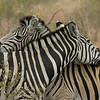 Zebras grooming one another