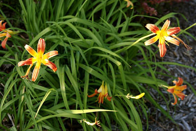 Wildflowers, Lawrence, KS.
