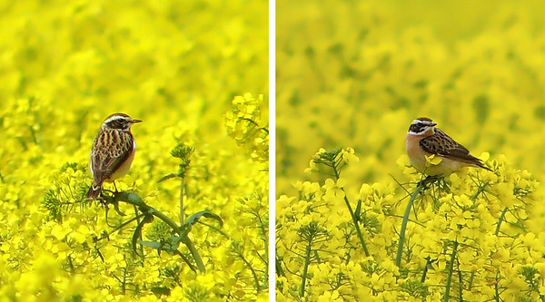 Whinchat (Saxicola rubetra) [male], Kimble Wick, Buckinghamshire, 05/05/2012. Very distant shots, heavy crops, unfortunately.