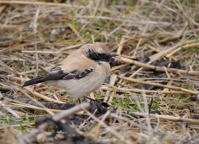 Desert Wheatear (Oenanthe deserti) [1st Winter Male], Severn Beach, Gloucestershire, 14/12/2013