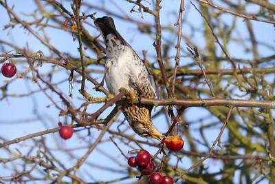 Fieldfare (Turdus pilaris), Hemel Hempstead, Hertfordshire, 11/02/2012.