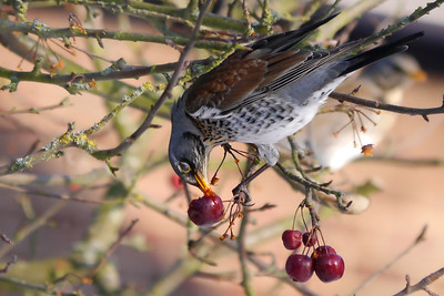 Fieldfare (Turdus pilaris), Hemel Hempstead, Hertfordshire, 11/02/2012. Qute often, the nictitating membrane (the blue 'shield' over the eye) was activated when digging into the juicy berries. A good way to stop it from spurting in your eye!