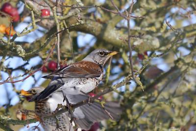 Fieldfare (Turdus pilaris), Hemel Hempstead, Hertfordshire, 11/02/2012