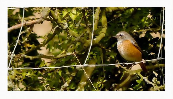 Redstart (Phoenicurus phoenicurus) [imm male], Rowsham, Buckinghamshire, 28/08/2011.
