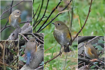 Other Thrushes & Chats