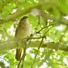 Nightingale (Luscinia megarhynchos)