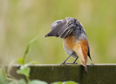 Redstart (Phoenicurus phoenicurus) [1st summer male], Gilfach NNR, Wales, 06/08/2013. And a touch more preening...