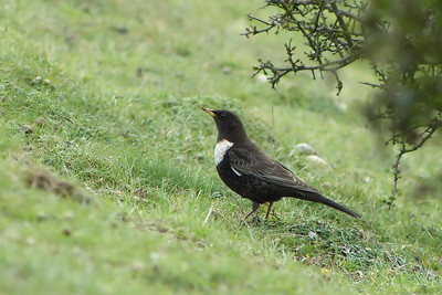 Ring Ouzel (Turdus torquatus) [male], Ivinghoe Beacon, Buckinghamshire, 10/04/2012.