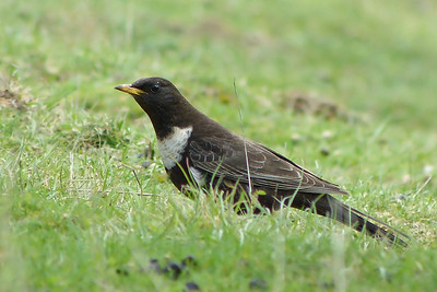Ring Ouzel (Turdus torquatus) [male, 1st summer], Ivinghoe Beacon, Buckinghamshire, 10/04/2012. One of 3 males on the Beacon this morning. With patience and stealth, this particular bird seemed to come up pretty close. Shame about the lack of sunshine!