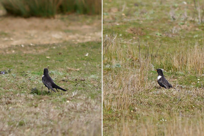 Ring Ouzel (Turdus torquatus), Norton Green, Hertfordshire, 03/04/2012. heavy crops - record shots of my first sighting.