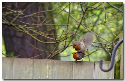Robin (Erithacus rubecula) [mating], Hemel Hempstead garden, Hertfordshire, 18/04/2011