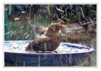 Blackbird (Turdus merula) [female], Hemel Hempstead garden, Hertfordshire, 07/03/2010. 'Bathing Fireworks!'