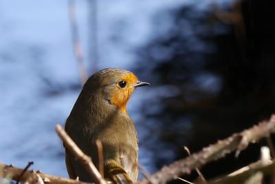 Robin (Erithacus rubecula), Bury Lake, Rickmansworth, Hertfordshire, 08/03/2012