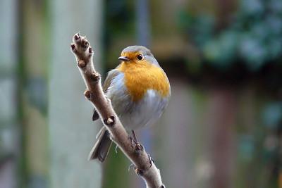 Robin (Erithacus rubecula), Hemel Hempstead garden, Hertfordshire, 23/01/2011