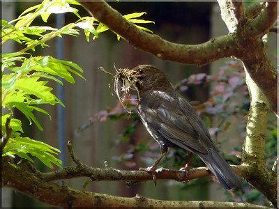Blackbird (Turdus merula) [female], collecting nesting material, Hemel Hempstead garden, Hertfordshire, 09/05/2011