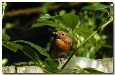 Robin (Erithacus rubecula), Hemel Hempstead garden, Hertfordshire, 10/06/2008