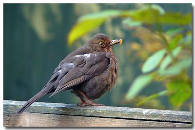 Blackbird (Turdus merula) [female], Hemel Hempstead garden, Hertfordshire, 16/04/2011