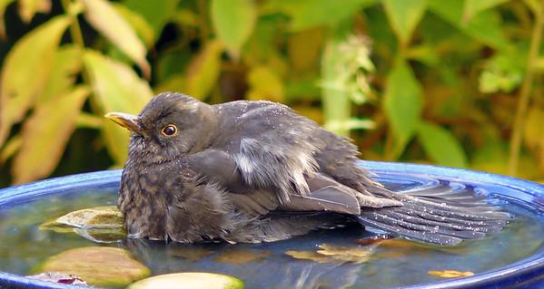 Blackbird (Turdus merula) [female], Hemel Hempstead garden, Hertfordshire, 21/11/2007. A soak in the tub...
