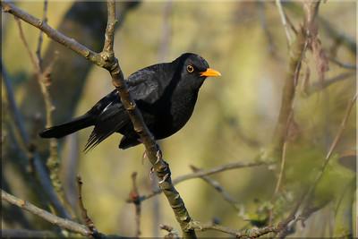 Robins, Blackbirds, Song & Mistle Thrushes