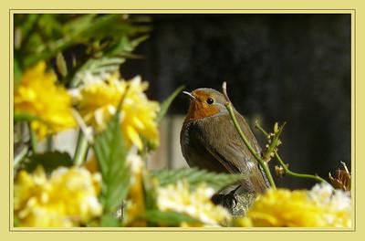 Robin (Erithacus rubecula), Hemel Hempstead garden, Hertfordshire, 22/04/2010
