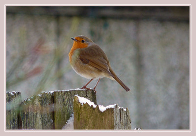 Robin (Erithacus rubecula), Hemel Hempstead garden, Hertfordshire, 09/01/2010