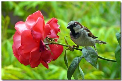 House Sparrow (Passer domesticus) [male], Hemel Hempstead garden, Hertfordshire, 05/06/2011