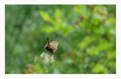Wren (Troglodytes troglodytes), Wilstone Reservoir, Herfordshire, 07/06/2011