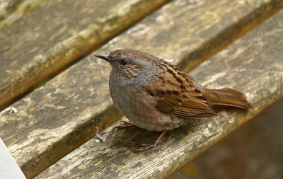 Dunnock (Prunella modularis), Hemel Hempstead Garden, Hertfordshire, 03/04/2012. Sitting happily on the bench outside the patio doors (taken through double glazing).